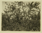 Photograph of Woman in Apple Tree Picking Apples