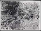 Crocodile beside a water course near long grass; possibly 211/2 in Record of photographs