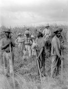 Workers in Sugar Plantation, Cuba, 1908-09 (b/ photo)