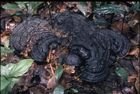 Close-up of dark brown/ black fungus growing on a bed of leaves on the forest floor.