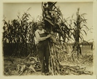 Photograph of Woman Working in Cornfield
