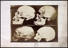 4 skulls on shelf in left profile numbered 5-8