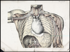 Anatomical drawing of the nerve supply to the organs of the neck and chest