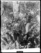Calanthe species on Bukit Besar at 2,000 feet.