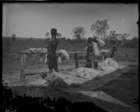 Four young men beating out sisal fibres on a wooden rack at the edge of a field (see also RAI No. 33430, 33431, 33432)