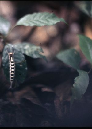 Close-up of a black and white striped caterpillar on a leaf.