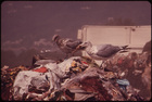 Seagulls Scavenge at Croton Landfill Operation along the Hudson River 08/1973