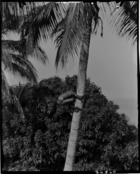 boy climbing coconut palm in grounds of London Missionary Society Mission House