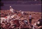 Seagulls Scavenge at Croton Landfill Operation along the Hudson River 08/1973