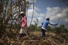 Women Harvest a Crop of Sugarcane (photo)