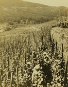 Photograph of Farming in Germany: A Vineyard in the Rhine Valley
