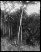 Carriers (?) resting under some palms