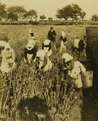 Photograph of Farming in Germany: Women Gathering Onion Seed