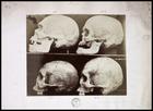 4 skulls on shelf in left profile numbered 1-4