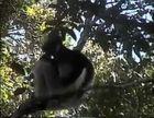 Primates, Lemurs of Madagascar