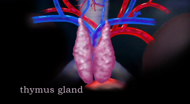 The Endocrine System: Thymus Gland   Alexander Street, a ProQuest ...