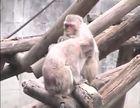 Primates, Macaques