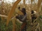 Setting the Grass Roots on Fire - Norman Borlaug & Africa's Green Revolution