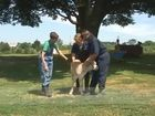 Bovine Series, Calves Physical Examination