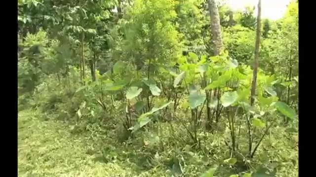 Tei Yasi: Growing Sandalwood in Fiji | Alexander Street, a ProQuest