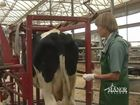 Bovine Series, Physical Examination