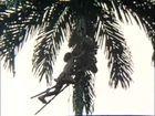 Yanomamö, Climbing the Peach Palm