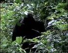 Primates, Chimpanzees Today